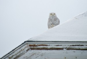 Perched (Snowy Owl)