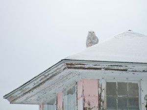 Snowy Owl perched atop the Pink House on Plum Island
