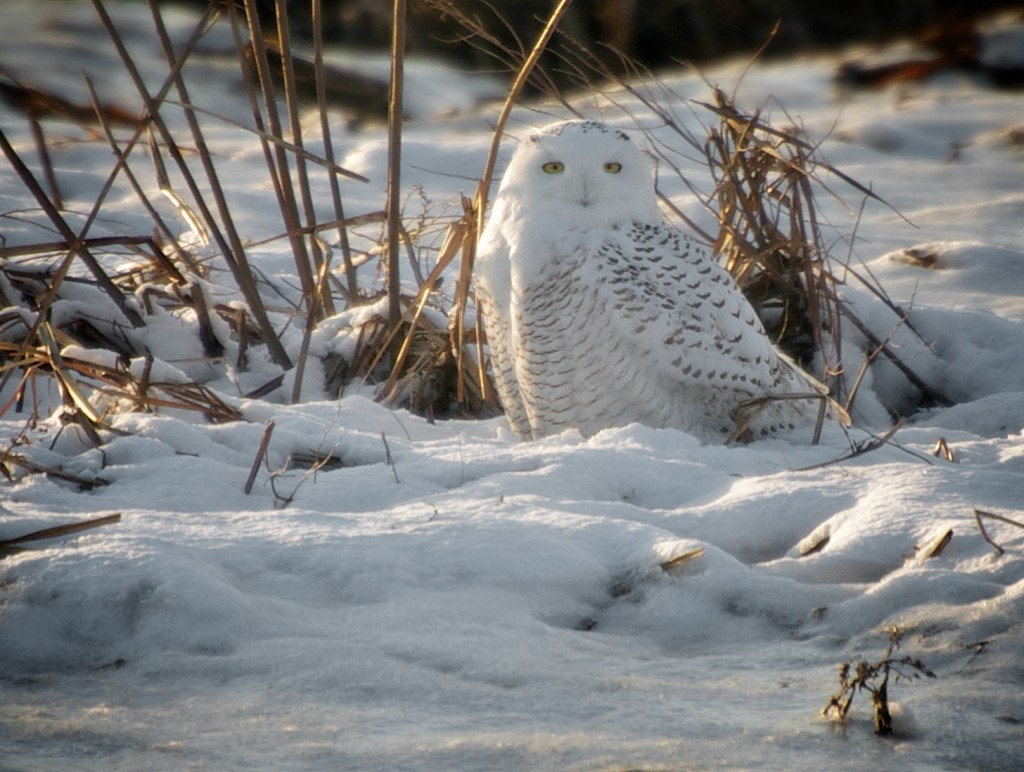 sitting pretty (Snowy Owl)_final