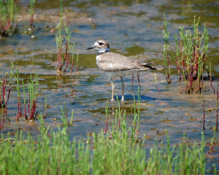 in the muck (Collared Plover on Plum Island)