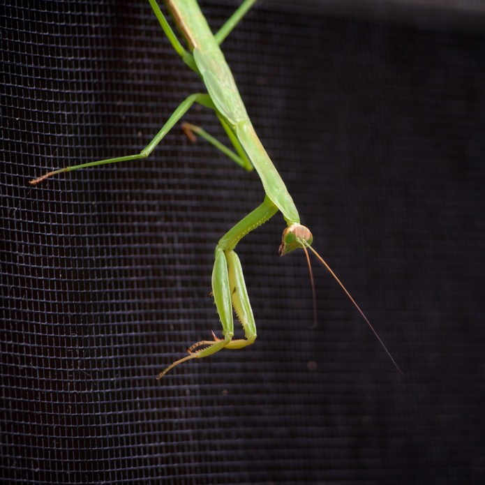 awaiting lunch (praying mantis on the window screen)